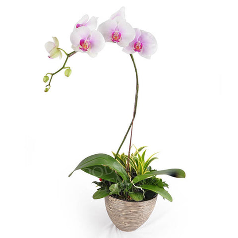 Rising Growth Phalaenopsis