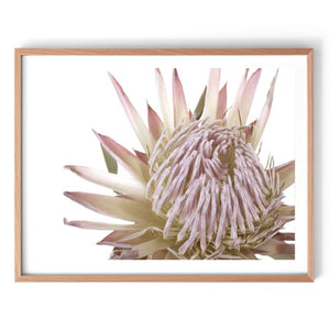King Protea Photography Print