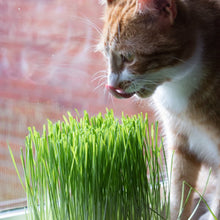 Cat with catgrass