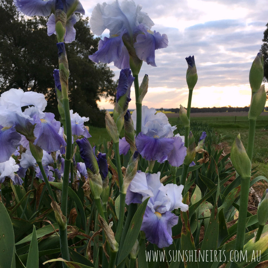 Why Aren't My Irises Flowering? - Sunshine Iris Nursery