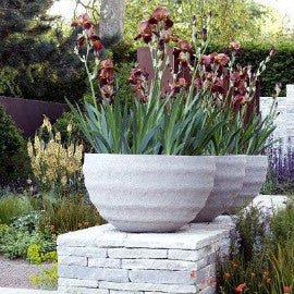 Growing irises in containers