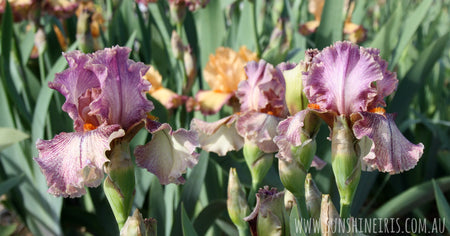 Caring for your bearded irises over the winter months