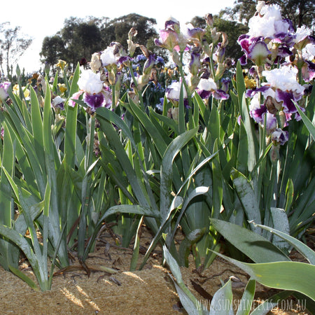 Keeping your irises happy over the summer