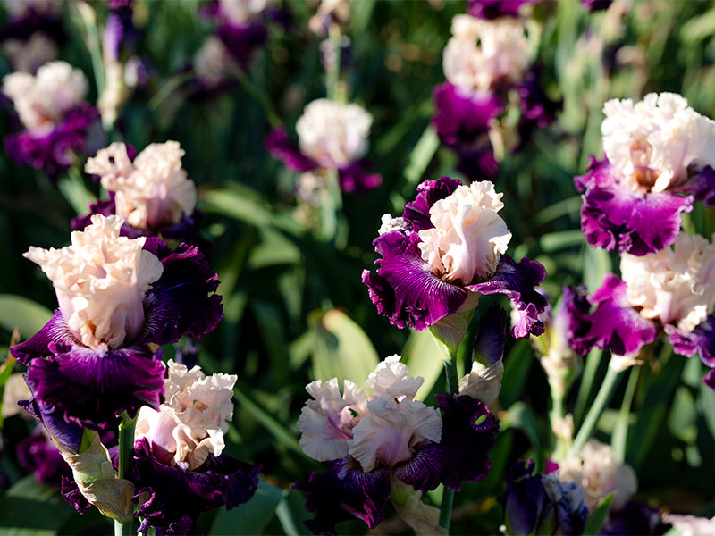 Stepping into spring - Preparing your irises for spring