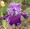 Adlemi - Tall Bearded Iris