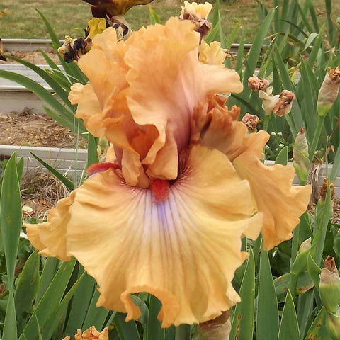 Amber Essence - Tall Bearded Iris