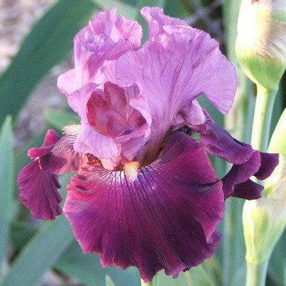 All Rhythm - Tall Bearded Iris