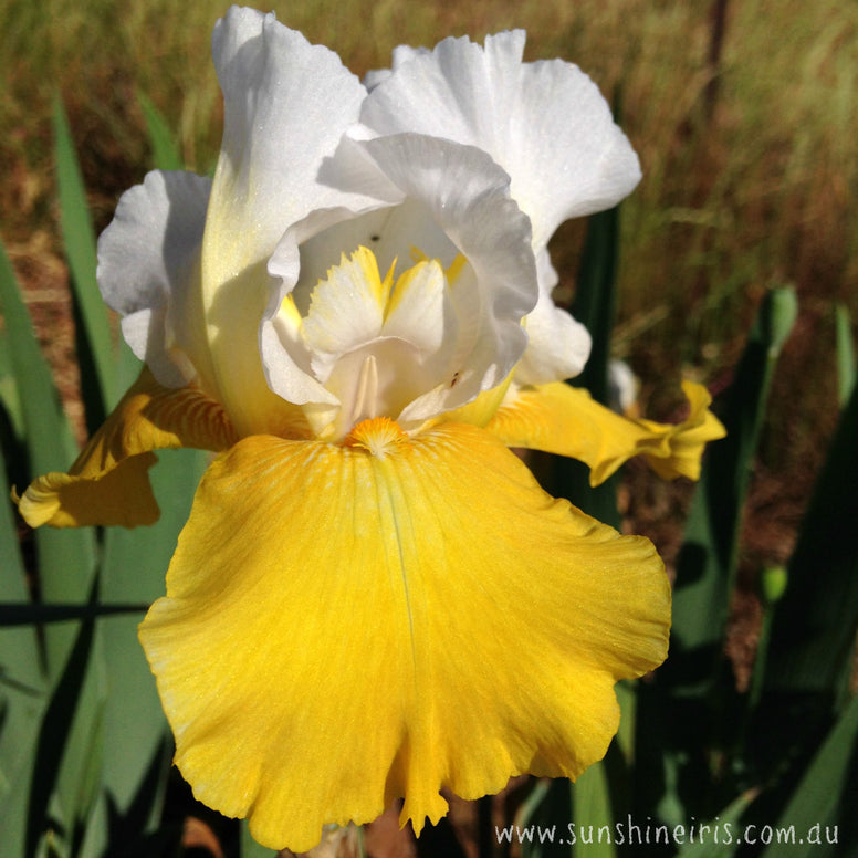 Alpine Journey - Tall Bearded Iris