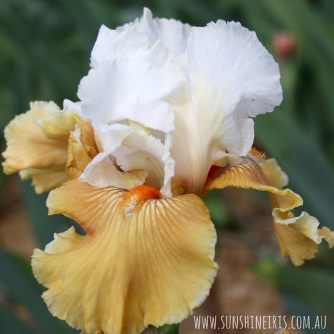 Amber Snow - Tall Bearded Iris