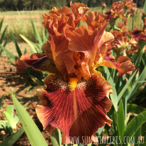 Amber Spree - Tall Bearded Iris