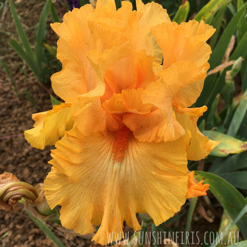 Amplified - Tall Bearded Iris