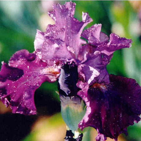 Anthology - Tall Bearded Iris