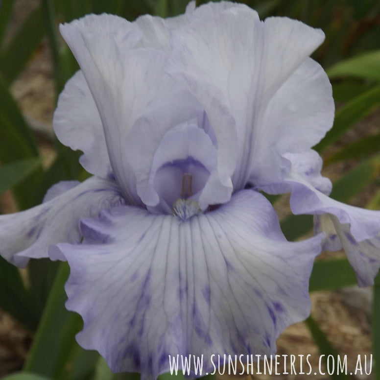 Blue For You - Tall Bearded Iris