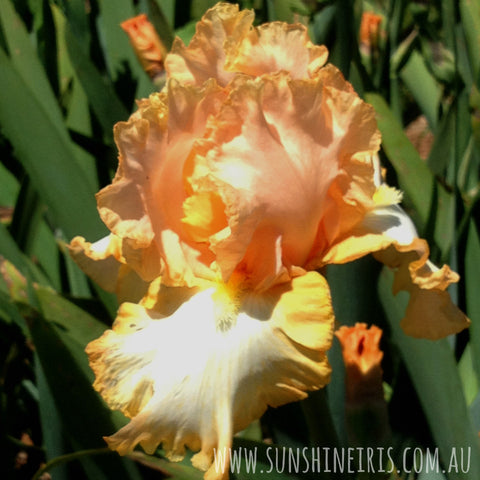 Barbara My Love - Tall Bearded Iris