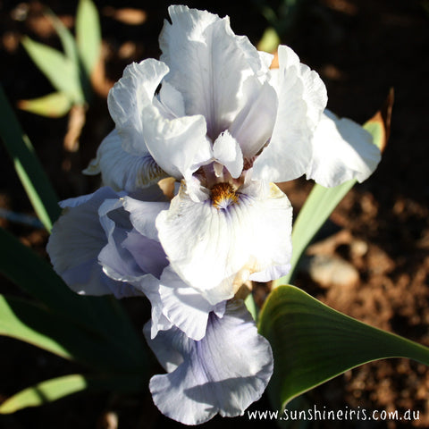 Beau Zam - Tall Bearded Iris