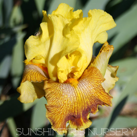 Bengal Tiger - Tall Bearded Iris