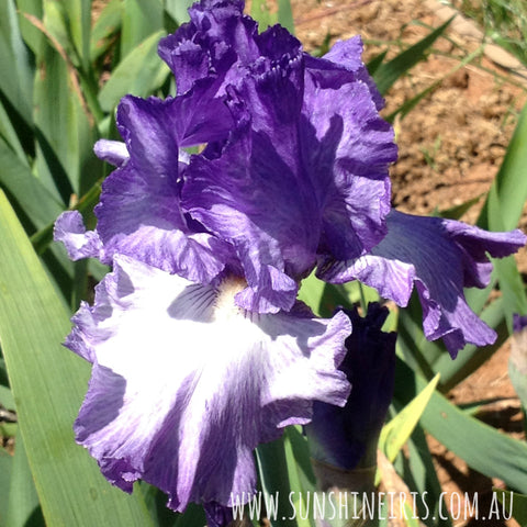 Better Loosen Up - Tall Bearded Iris