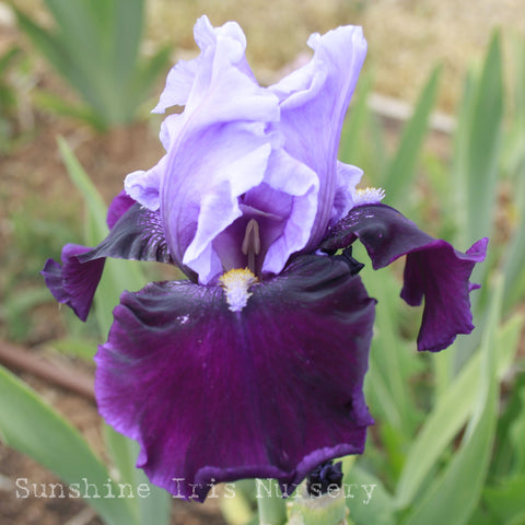Bluebird Wine - Tall Bearded Iris