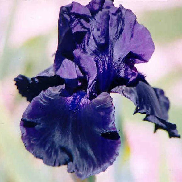 By Night - Tall Bearded Iris