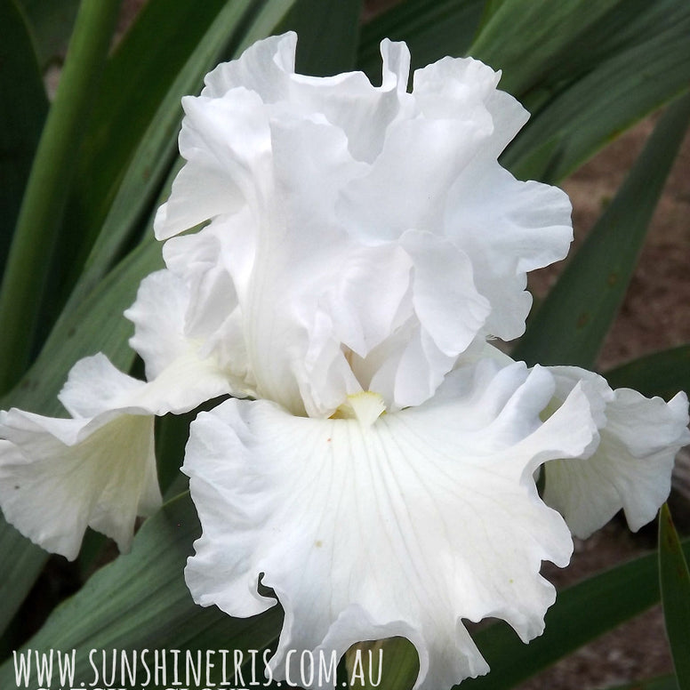 Catch A Cloud - Tall Bearded Iris