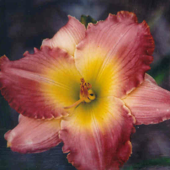 Chance Encounter - Large Daylily