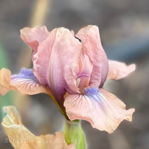 Chanted - Dwarf Bearded Iris