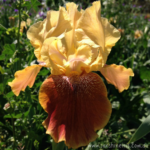 Coffee Capri - Tall Bearded Iris