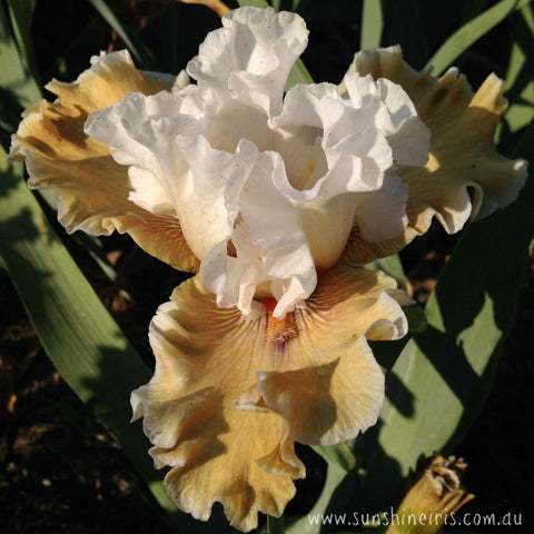 Coffee Whispers - Tall Bearded Iris