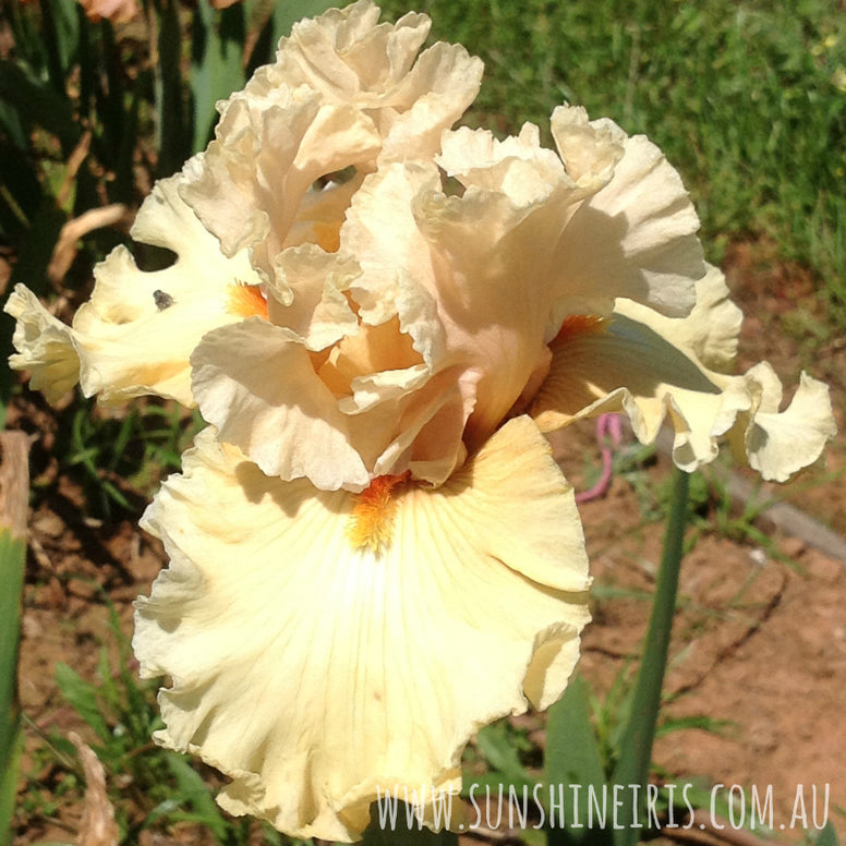 Comes The Dawn - Tall Bearded Iris