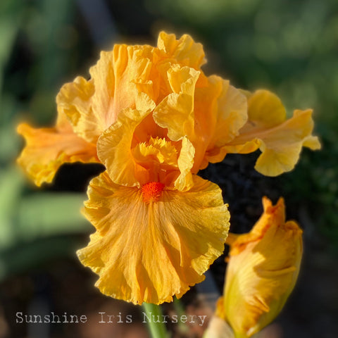 Cordoba - Tall Bearded Iris