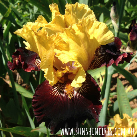 Dads A Pirate - Tall Bearded Iris