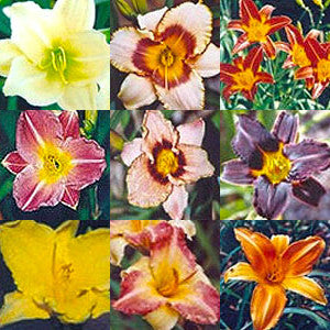 Daylily Special - 6 for $50