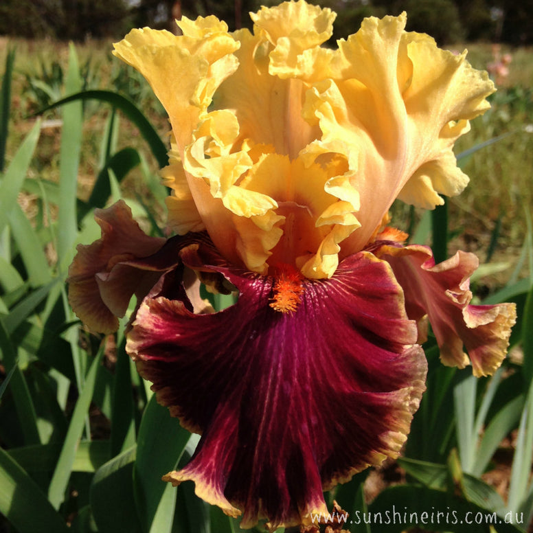 Decadence - Tall Bearded Iris