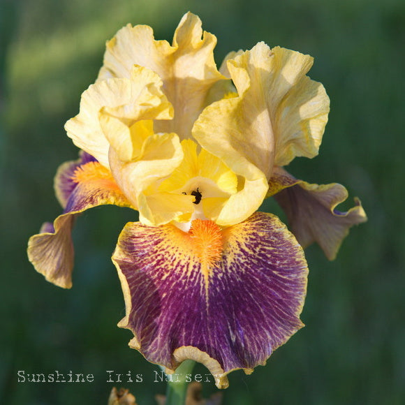 Delirium - Median Bearded Iris