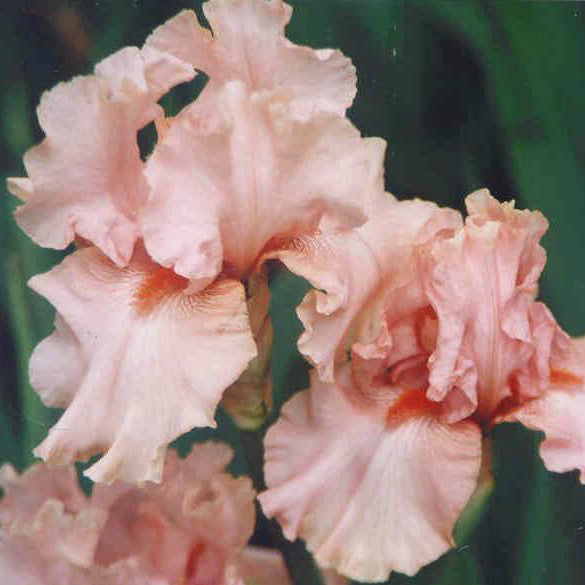 Doll Baby - Median Bearded Iris