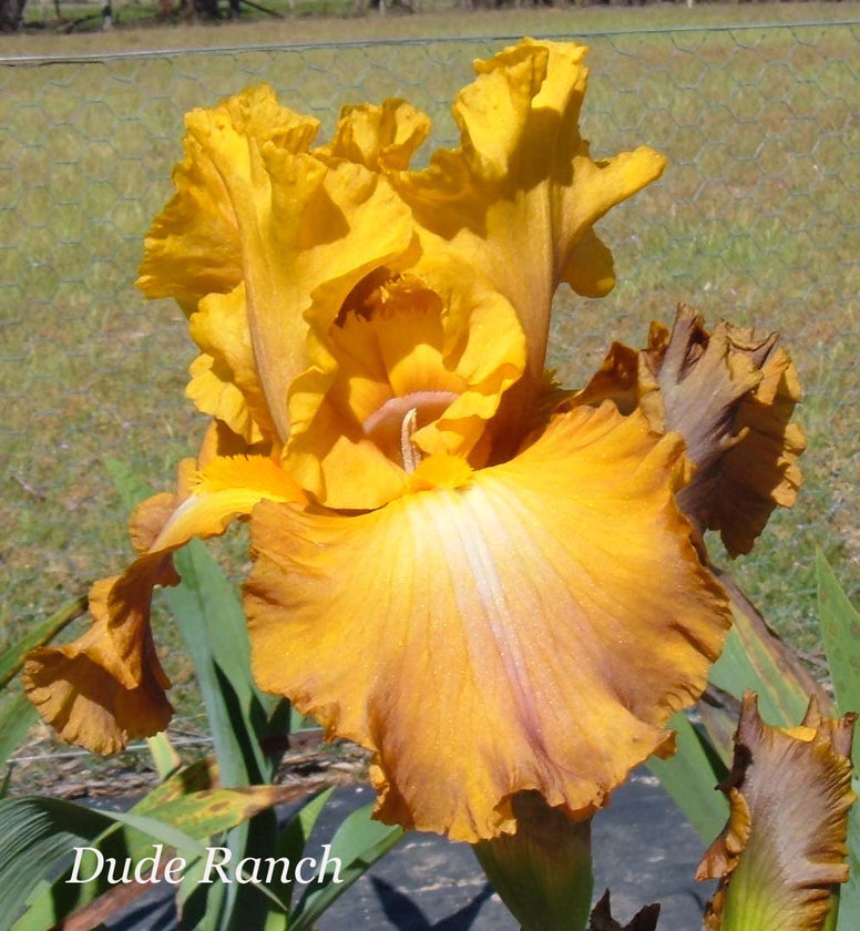 Dude Ranch - Tall Bearded Iris
