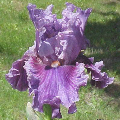 Enchanter - Tall Bearded Iris