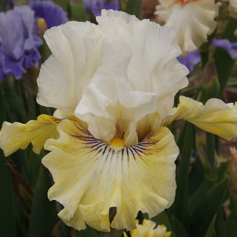 Fancy A Flutter - Tall Bearded Iris