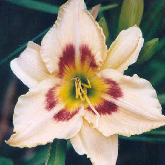 Femme Fatale - Large Daylily