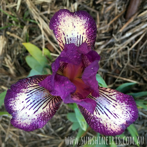 For Fun - Dwarf Bearded Iris
