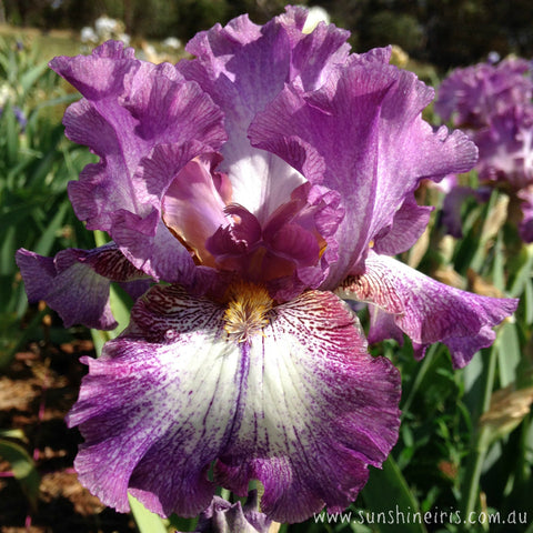 French Gown - Tall Bearded Iris