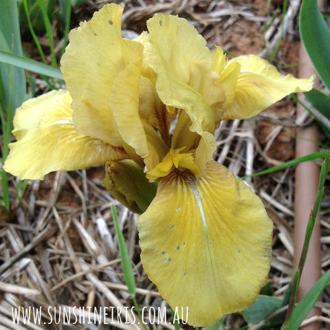 Fuzzy Devil - Dwarf Bearded Iris