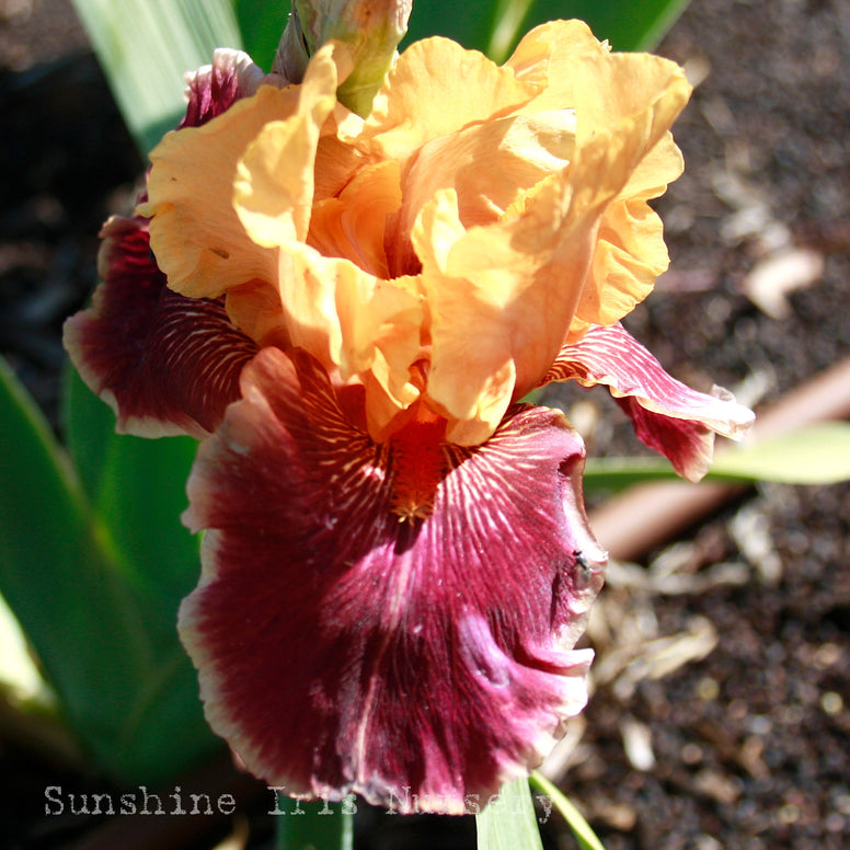 Glitterati - Tall Bearded Iris
