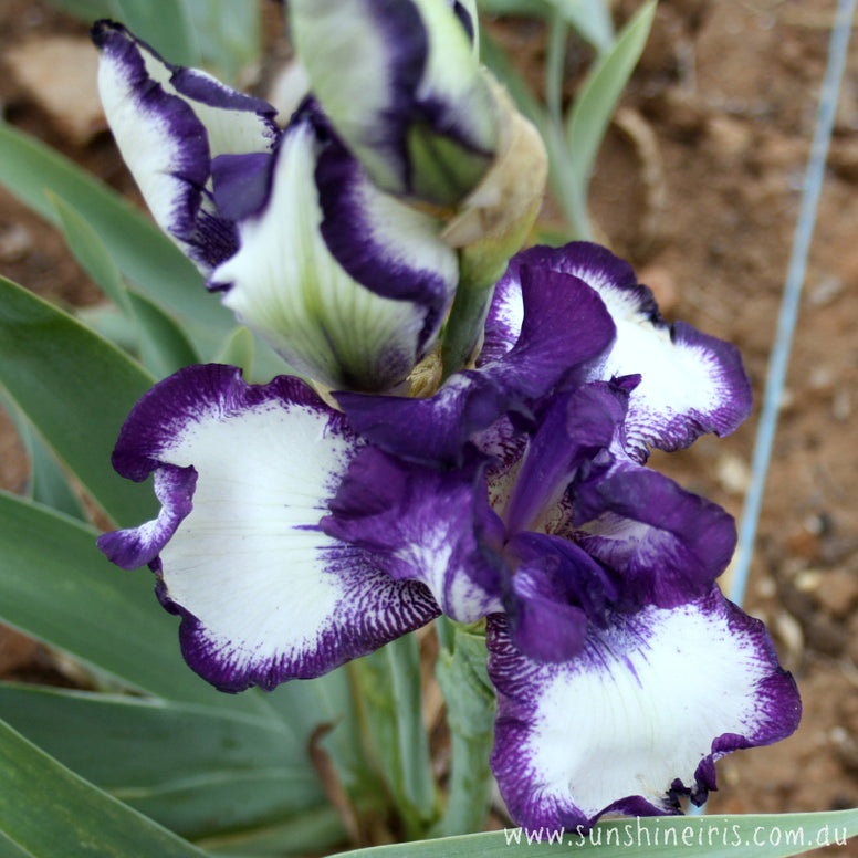 Going My Way - Tall Bearded Iris