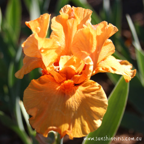 Gratuity - Tall Bearded Iris
