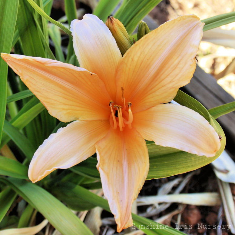 Grecian Honey - Large Daylily
