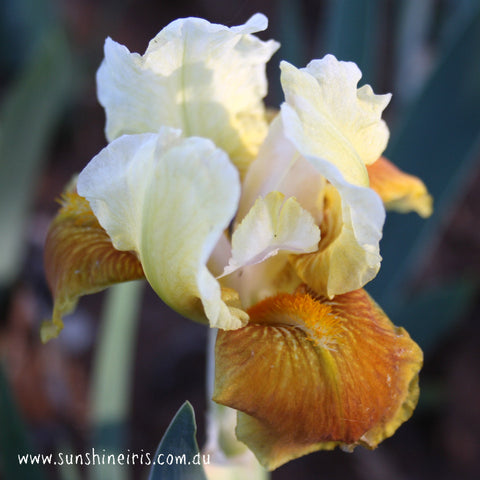Honey Glazed - Median Bearded Iris