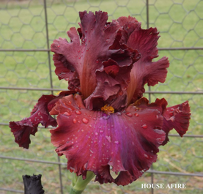 House Afire - Tall Bearded Iris