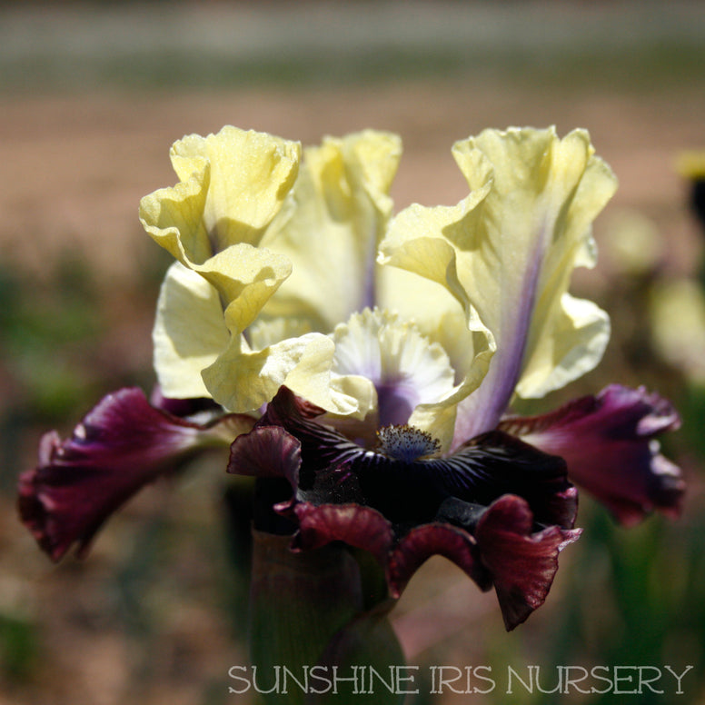 I'm Wicked - Median Bearded Iris