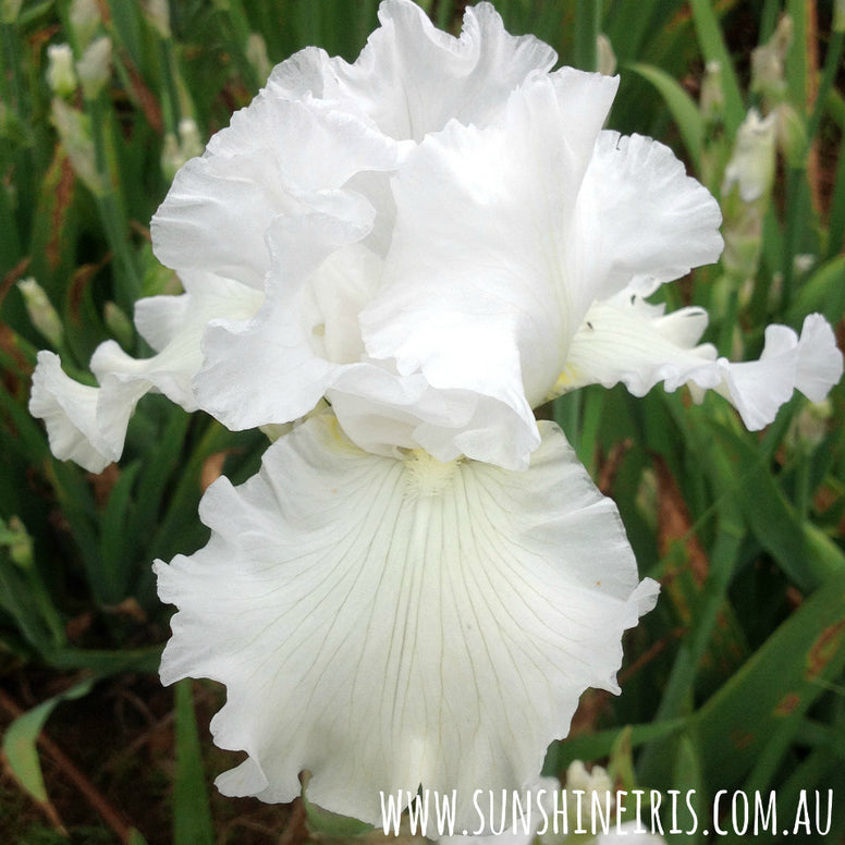 Janets Joy - Tall Bearded Iris
